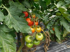 たくさん実がついた中玉トマト。今のところ、雨でも割れていない。