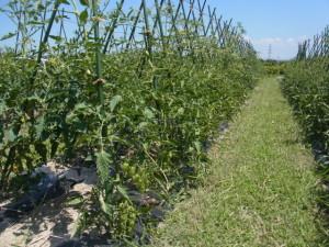 トマトは大玉、中玉、ミニ。品種は桃太郎、ココ、アイコ、イエローピコ。ほおずきトマトにも挑戦している。