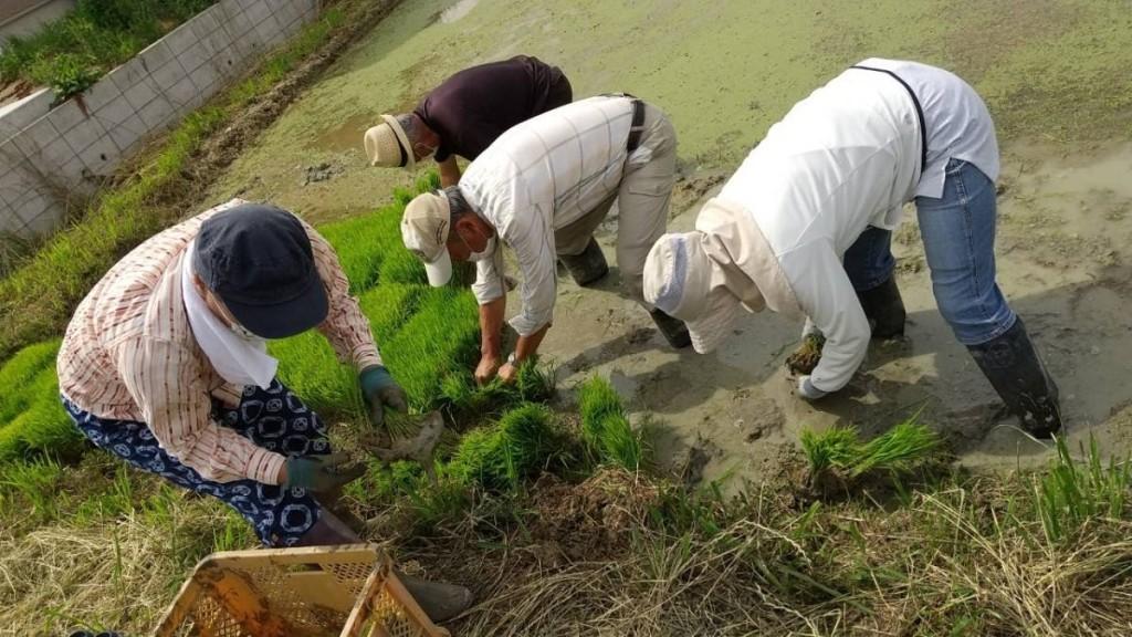 200614 田植え ⑤苗とり
