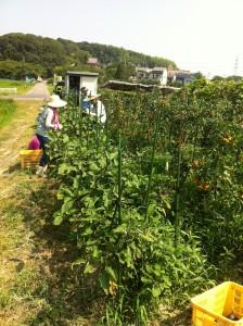 ■ナス収穫作業