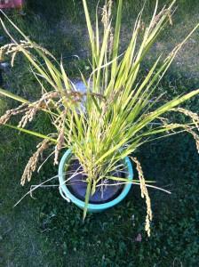 ■バケツ稲収穫前