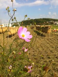■本郷稲刈りコスモス