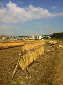 ■本郷稲刈り