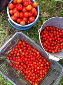 ■ミニトマト