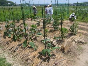 夏野菜には、株元に稲わらを敷く。乾燥を防ぎ、土が固くなるのをおさえる。