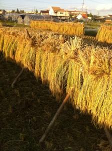 ■前川稲刈り完了2