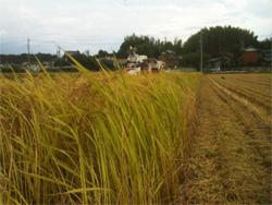 H24年 稲刈り