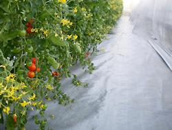 袋培地栽培