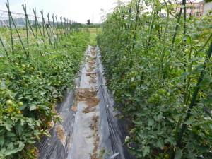 両側はミニトマト。ウネ間に防草シートを張り、抑草対策も。