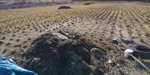 1月6日 田んぼで発酵肥料(ぼかし)づくり、遠くに見えるのは牛ふんたい肥