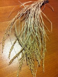 ■2週間乾燥させたバケツ稲