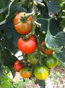 ■トマト割れ