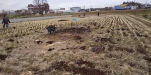 発酵肥料を田んぼに散布している。(3月13日)