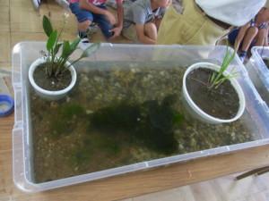 持ち込んだセットの一つ。ケースは衣装ケースを利用。ここにはメダカ、オタマジャクシ、どじょうがいる。鉢は稲、オモダカ、また水中には浮草を入れている。