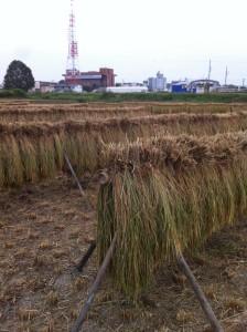 ■もち米稲刈り完了